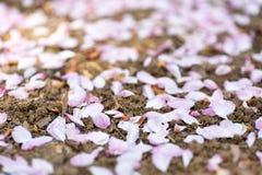 Ρόδινα πέταλα στο χώμα Στοκ φωτογραφία με δικαίωμα ελεύθερης χρήσης