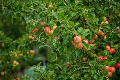 Ρόδινα πράσινα μήλα το καλοκαίρι σε ένα υπόβαθρο δέντρων Στοκ εικόνες με δικαίωμα ελεύθερης χρήσης
