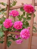 ρόδινα τριαντάφυλλα Στοκ εικόνες με δικαίωμα ελεύθερης χρήσης