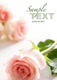 ρόδινα τριαντάφυλλα Στοκ Φωτογραφία
