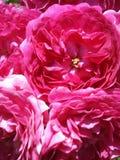 ρόδινα τριαντάφυλλα ανασ&ka Στοκ Φωτογραφίες