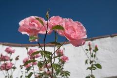 Ρόδινα τριαντάφυλλα ενάντια στον τοίχο κήπων Στοκ Φωτογραφία