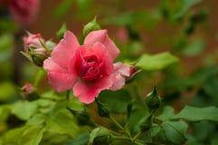 Ρόδινα τριαντάφυλλα με τους οφθαλμούς σε ένα υπόβαθρο ενός πράσινου θάμνου στον κήπο Στοκ Εικόνα