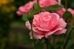 Ρόδινα τριαντάφυλλα με τους οφθαλμούς σε ένα υπόβαθρο ενός πράσινου θάμνου στον κήπο Στοκ Φωτογραφίες