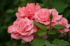 Ρόδινα τριαντάφυλλα με τους οφθαλμούς σε ένα υπόβαθρο ενός πράσινου θάμνου στον κήπο Στοκ Εικόνες
