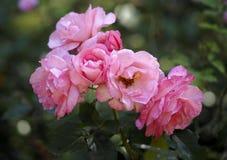 Ρόδινα τριαντάφυλλα στον κήπο Στοκ Φωτογραφία