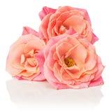 Ρόδινα τριαντάφυλλα στο άσπρο υπόβαθρο Στοκ εικόνα με δικαίωμα ελεύθερης χρήσης