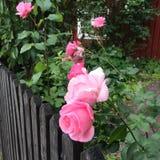 Ρόδινα τριαντάφυλλα στο παλαιό γκρι Στοκ φωτογραφία με δικαίωμα ελεύθερης χρήσης