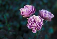 Ρόδινα τριαντάφυλλα στο φυσικό υπόβαθρο Καλοκαίρι Στοκ εικόνες με δικαίωμα ελεύθερης χρήσης