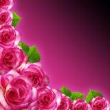 Ρόδινα τριαντάφυλλα fram με το πορφυρό υπόβαθρο στοκ φωτογραφίες