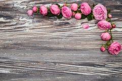 Ρόδινα τριαντάφυλλα (Rosaceae) Στοκ εικόνα με δικαίωμα ελεύθερης χρήσης
