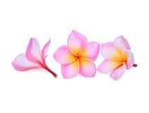 Ρόδινα τροπικά λουλούδια frangipani ή plumeria που απομονώνονται στο λευκό Στοκ φωτογραφίες με δικαίωμα ελεύθερης χρήσης