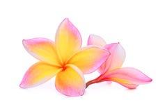 Ρόδινα τροπικά λουλούδια frangipani ή plumeria που απομονώνονται στο λευκό Στοκ Εικόνες