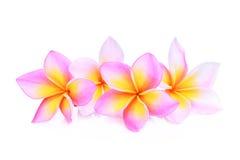 Ρόδινα τροπικά λουλούδια frangipani ή plumeria που απομονώνονται Στοκ εικόνα με δικαίωμα ελεύθερης χρήσης