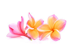 Ρόδινα τροπικά λουλούδια frangipani ή plumeria που απομονώνονται Στοκ φωτογραφία με δικαίωμα ελεύθερης χρήσης