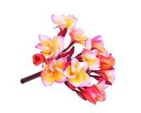 Ρόδινα τροπικά λουλούδια frangipani ή plumeria που απομονώνονται Στοκ Εικόνα