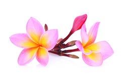 Ρόδινα τροπικά λουλούδια frangipani ή plumeria Στοκ Φωτογραφίες