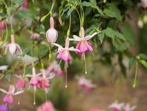 Ρόδινα φούξια λουλούδια Στοκ Φωτογραφία