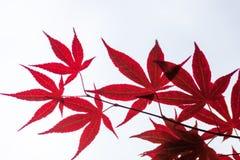 Ρόδινα φύλλα του ιαπωνικού σφενδάμνου (palmatum Acer) Στοκ Φωτογραφίες