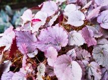 Ρόδινα φύλλα Στοκ Εικόνα