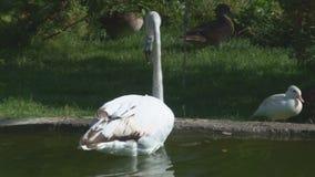 Ρόδινα φλαμίγκο στη λίμνη στο ζωολογικό κήπο απόθεμα βίντεο