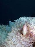 Ρόδινα ψάρια Anemone με το σκοτεινό υπόβαθρο Στοκ Φωτογραφίες