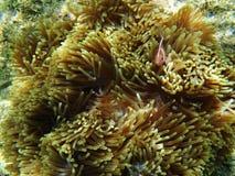 Ρόδινα ψάρια Anemone Στοκ Εικόνες