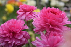 Ρόδινα όμορφα λουλούδια Στοκ Εικόνες