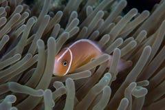 Ρόδινα Anemonefish και Anemone Στοκ Φωτογραφία