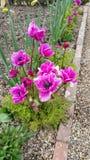 Ρόδινα anemones στα σύνορα λουλουδιών Στοκ Εικόνες