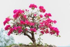 Ρόδινα bougainvilleas άνθισης ενάντια στο μπλε ουρανό στοκ εικόνα