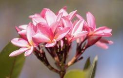 Ρόδινα frangipani/plumeria στο δέντρο Στοκ Φωτογραφίες