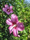 Ρόδινα hibiscus - θερινά λουλούδια Στοκ εικόνα με δικαίωμα ελεύθερης χρήσης