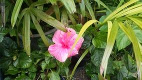 Ρόδινα Hibiscus στην άνθιση Στοκ Εικόνες