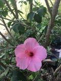 Ρόδινα hibiscus δύο Στοκ εικόνα με δικαίωμα ελεύθερης χρήσης