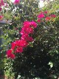 Ρόδινα hibiscus δύο Στοκ φωτογραφία με δικαίωμα ελεύθερης χρήσης