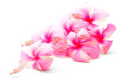 Ρόδινα Hibiscus Στοκ Εικόνα