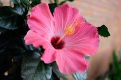 Ρόδινα Hibiscus στοκ φωτογραφίες