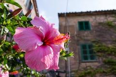 Ρόδινα hibiscus 1 στοκ φωτογραφίες