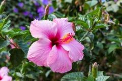 Ρόδινα hibiscus 1 στοκ φωτογραφία με δικαίωμα ελεύθερης χρήσης