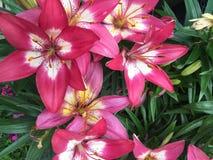 Ρόδινα lillies Στοκ Εικόνες