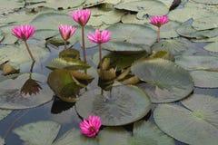 Ρόδινα lotuses Στοκ Εικόνες