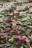 Ρόδινα lotuses Στοκ Φωτογραφία