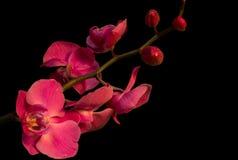 Orchids σε ένα μαύρο υπόβαθρο Στοκ Εικόνες