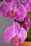 Ρόδινα orchids Στοκ Εικόνα
