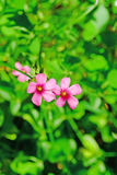 Ρόδινα oxalis στοκ φωτογραφίες με δικαίωμα ελεύθερης χρήσης