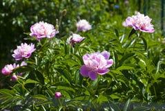 Ρόδινα peonies σε έναν κήπο Στοκ Εικόνες