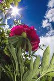 Ρόδινα peony 2 Στοκ φωτογραφία με δικαίωμα ελεύθερης χρήσης