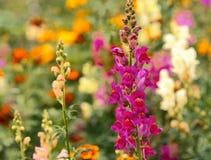 Ρόδινα snapdragons λουλουδιών Στοκ εικόνες με δικαίωμα ελεύθερης χρήσης