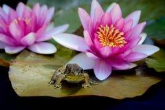 Ρόδινες ανθίσεις και βάτραχος κρίνων νερού που σκαρφαλώνουν στο μαξιλάρι του Στοκ φωτογραφίες με δικαίωμα ελεύθερης χρήσης
